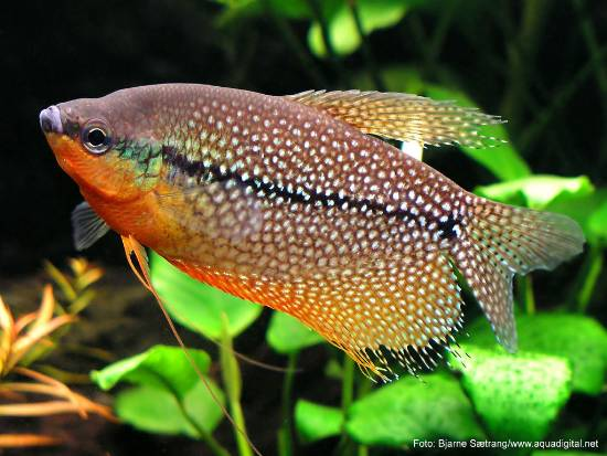 """The%20image%20""""http://www.watergardenersinternational.org/fish/trichogaster_leeri.jpg""""%20cannot%20be%20displayed,%20because%20it%20contains%20errors."""